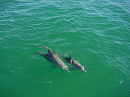 Dolphins from top view