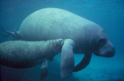 Manatee Mother and Calf in Mosquito Lagoon