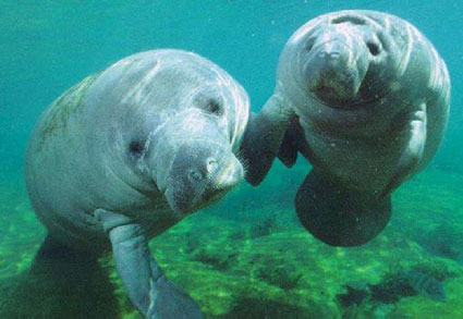 Manatees in Mosquito Lagoon