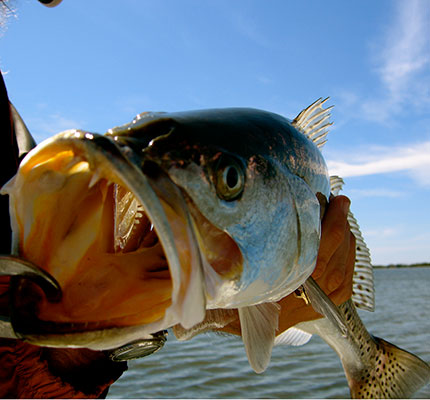 Learn about Mosquito Lagoon Speckled Seatrout